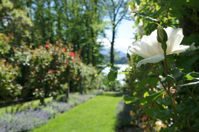 rose garden path to the lake
