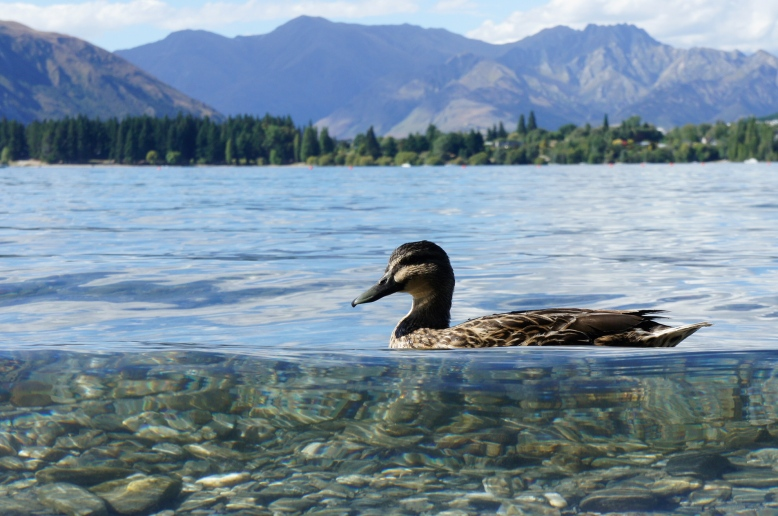 duck on lake wanaka