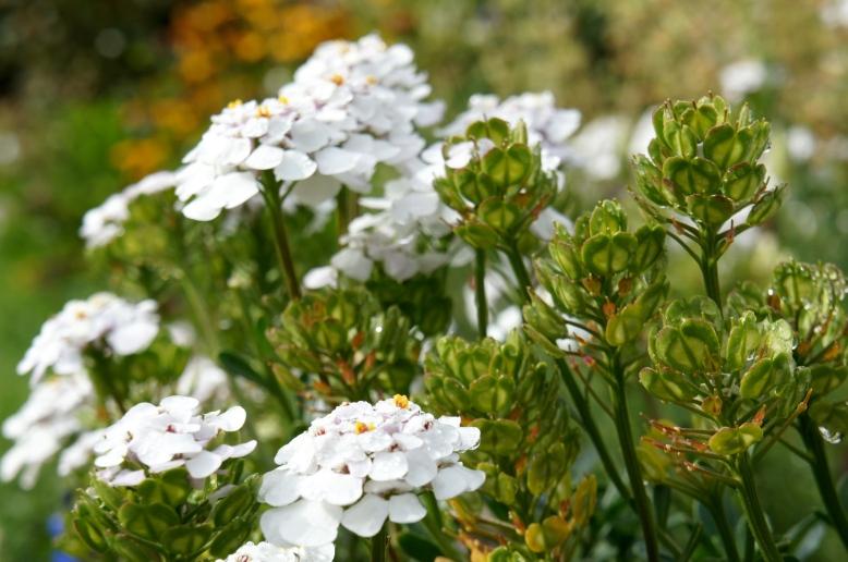 white flowers wanaka station park